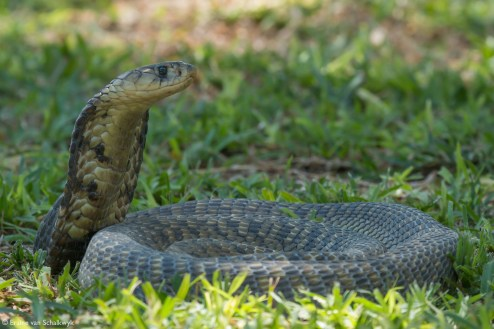 Snouted cobra, reptile, snake, Klaserie Private Nature Reserve, South Africa