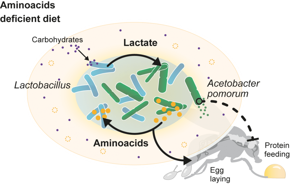 Gut bacteria use a metabolic cross-feeding to overcome dietary deficiencies, and to change the host behavior and reproductive output