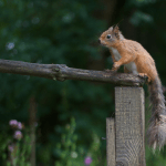 Red Squirrel at Cluny House