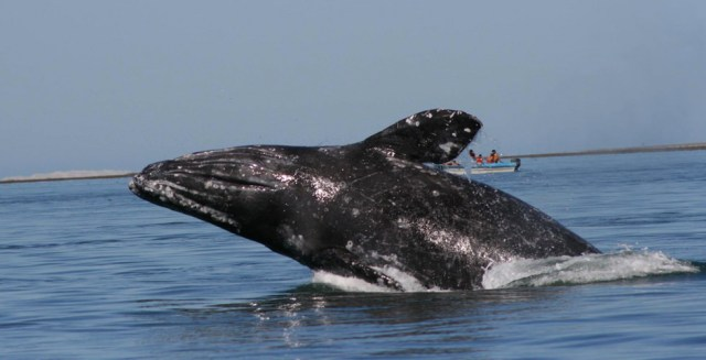 Common questions about Gray Whale