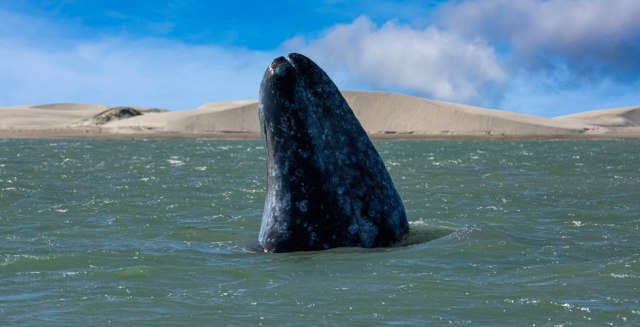 Swimming with Gray Whales