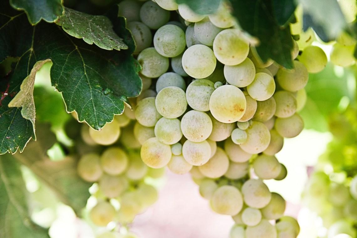 benefici dell'uva - grappolo di uva bianca - healthaid magazine