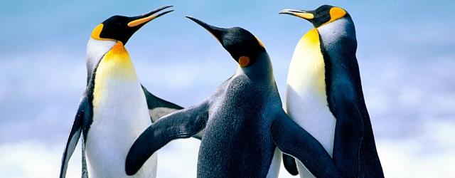 I pinguini come gli uomini: abili latin lovers