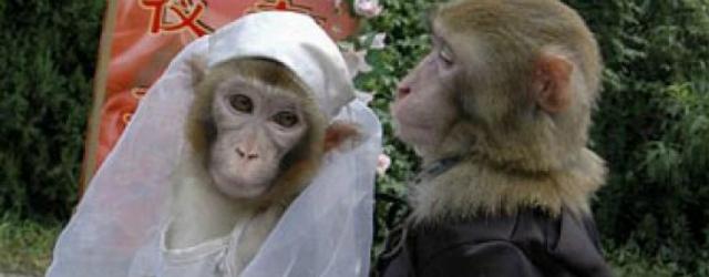 Il video del matrimonio tra due scimmie celebrato in India