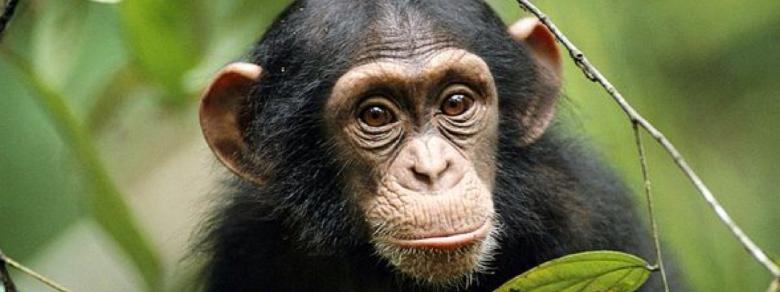 Riconosciuti ad una scimpanzé gli stessi diritti dell'uomo
