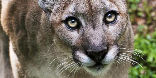 cougar significato