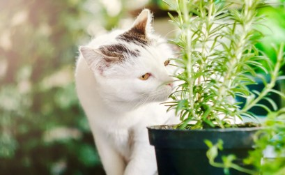 salvare-le-piante-dal-gatto_rosmarino