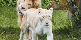 Blanco (scomparso nell'agosto scorso) e Safia, leoni bianchi al Parco Natura Viva