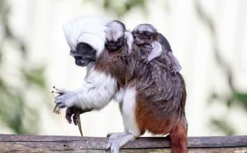 Il compagno di Puff con i gemellini sulla schiena allo zoo di Auckland