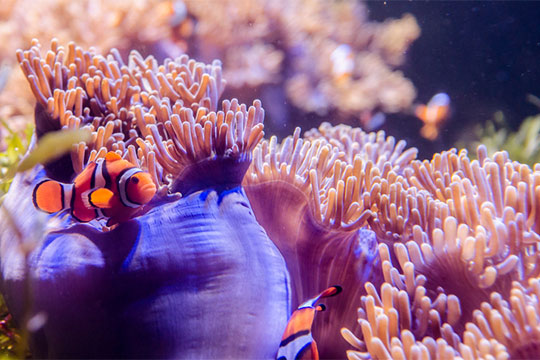 clownfish in a coral reef