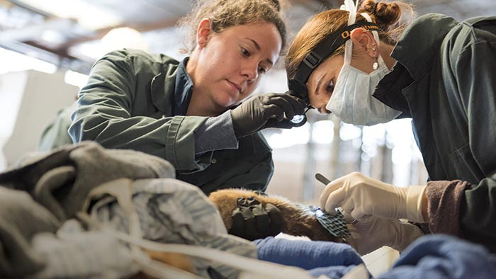 UC Davis vets apply fish skins to a burned paw