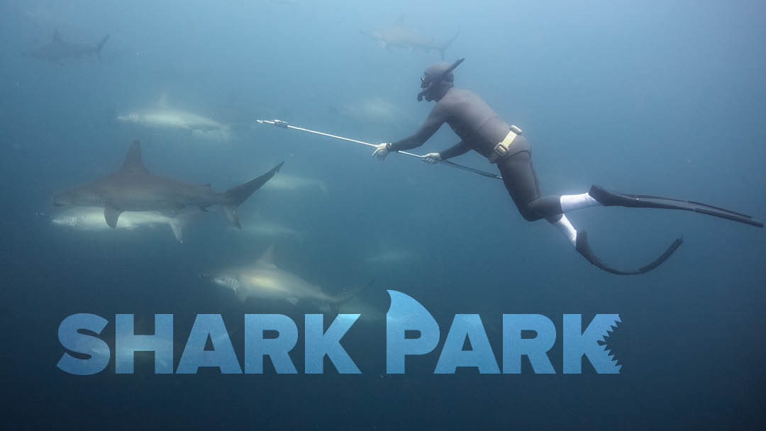 A diver free dives to tag sharks