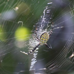 Spider glue is actually a specialized silk protein. Sarah Stellwagen, CC BY-ND