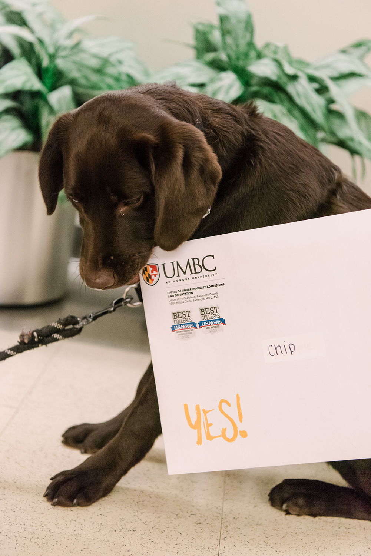 UMBC Police comfort dog Chip bites the corner of her UMBC acceptance letter