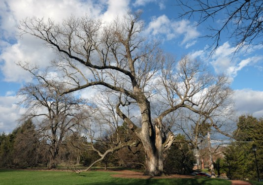 Even in winter, its leaves bare, the Brompton Oak is a beloved sight in Fredericksburg.