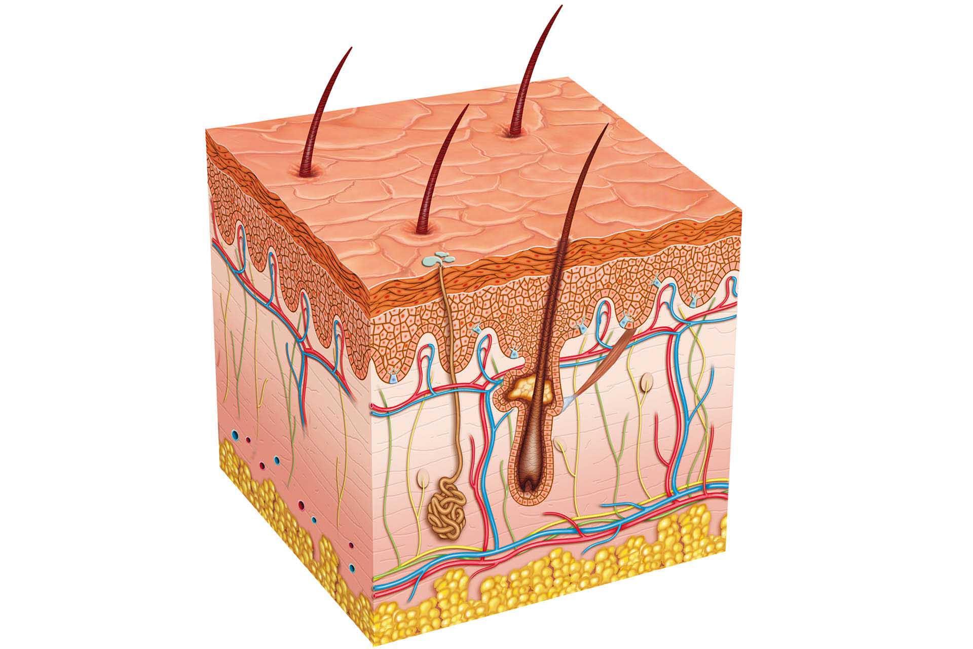 Human Skin Layer Model Worksheet