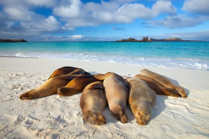 Leoni marini, Galápagos