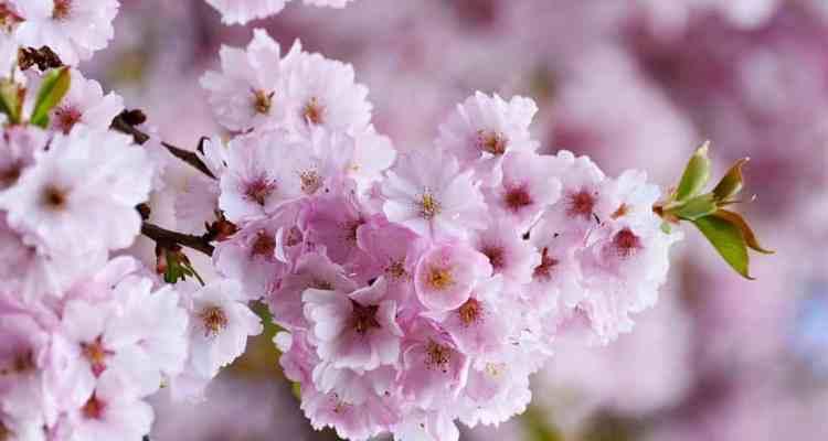 La Primavera è il periodo migliore per andare alla scoperta del Giappone. Lo straordinario spettacolo della fioritura dei ciliegi.