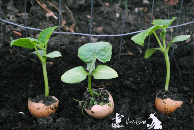cultivarea castravetilor