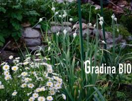 Grădina bio/Clafoutis cu vișine și zmeură