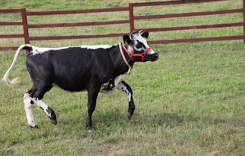ZOO Lubin - nowy gatunek w zoo: krowa białogrzbieta