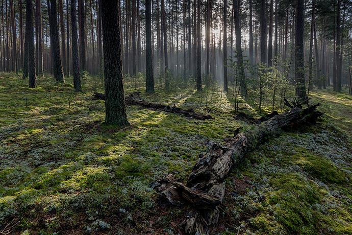 Najciekawsze lasy w Polsce - BoryTucholskie