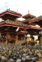 Święte krowy na Durbar Square w Katmandu