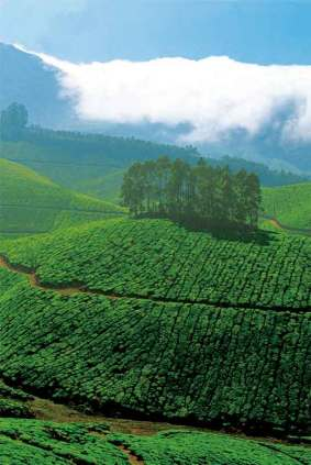 Plantacje herbaty, Kerala