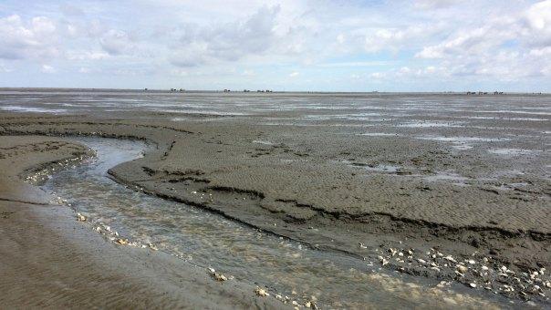 Koryta rzek widocznych w dnie Wattenmeer są zasłane skorupami różnych gatunków obumarłych małży, fot. Paweł Wroński