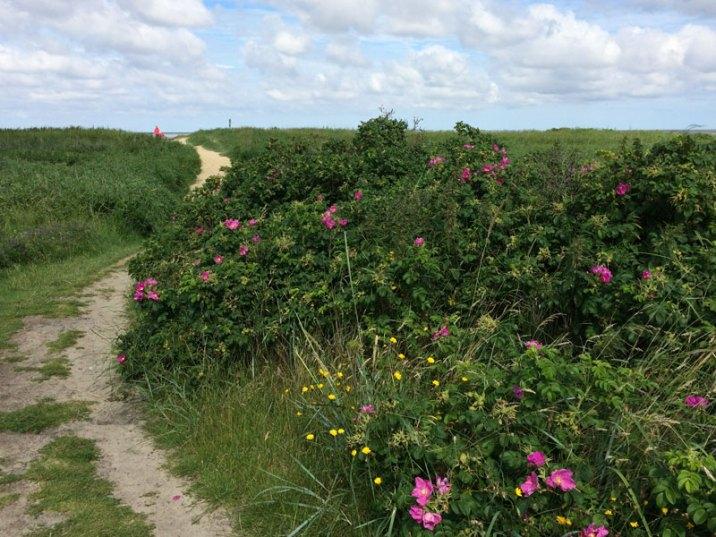 Diuny oddzielające plaże od i Morze Wattowe od lądu porośnięte trawami i krzewami dzikiej róży, fot. Paweł Wroński