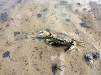 Krab, zdybany na szlaku, szybko zagrzebuje się w piasek, fot. Paweł Wroński