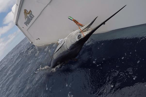 Marlin on Sincero Orange