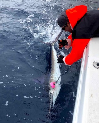 Marlin on Panamania Lure