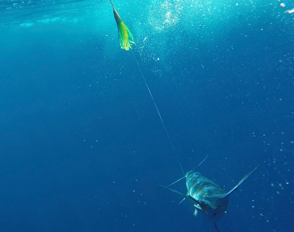 Underwater Marlin on Phoenix Lure