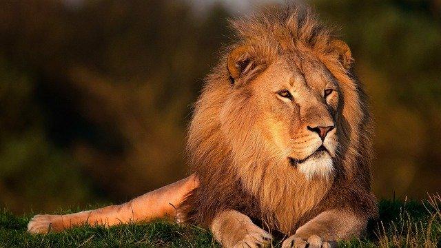 Ein Löwe wird mit Gras nicht artgerecht ernährt, obwohl Gras an sich nicht schlecht ist.