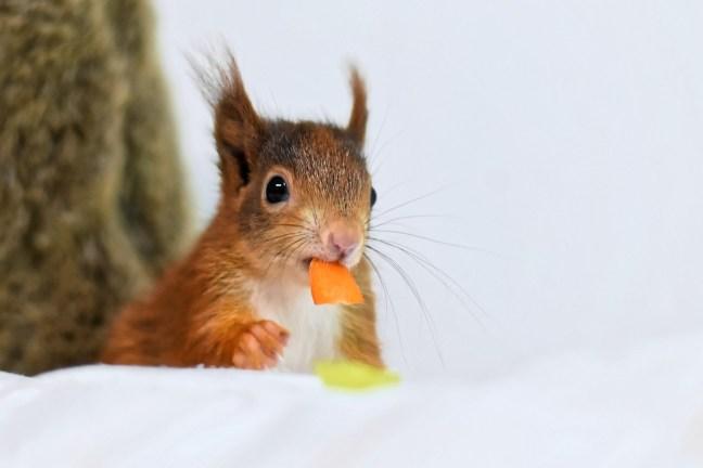 Eichhörnchenstrategie-5-Kauen