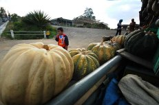 Farmers in Ngablak District said, yields vary between pumpkin and winter squash types and varieties. But the average for all them is estimated at about 15 tonnes per hectare, and can be much higher under thorough irrigated cropping systems.***