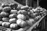 PUMPKIN WINTER SQUASH LABU WALUH PAKIS MAGELANG PHOTOS
