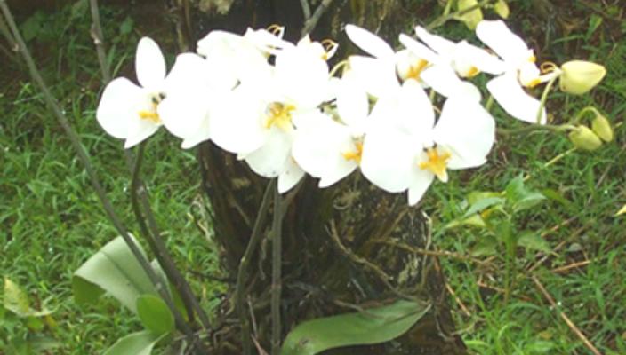 Anggrek Magelang godean.web.id