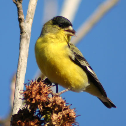 """Lesser Goldfinch in elings Park, Santa Barbara on a """"winter"""" day."""
