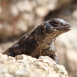 Chuckwalla 40 Palms
