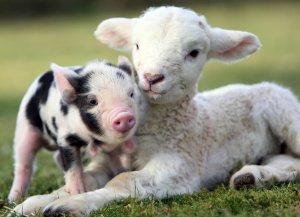 Lamb-and-piglet