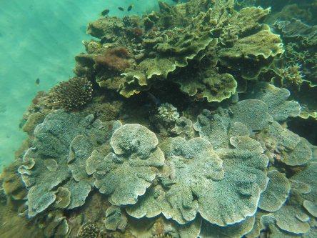 Alma Bay corals, 2017