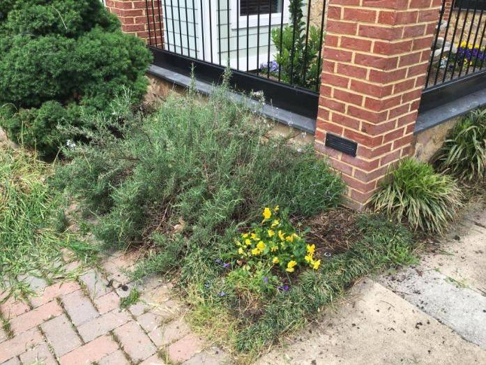 Rosemary plant and small flowers
