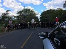 tierische Straßensperre auf dem Weg nach San Carlos