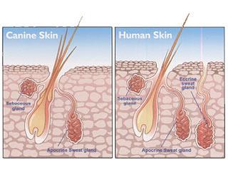 dog skin vs human skin
