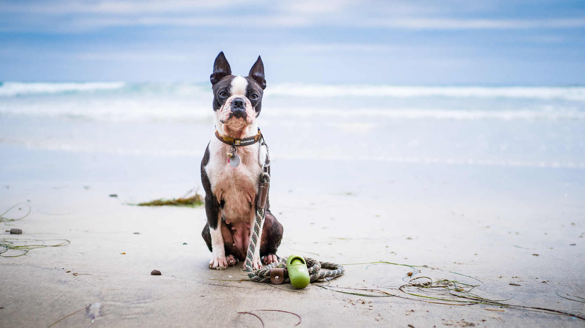 Earth Rated and Boston Terriers at La Jolla Scripps Pier
