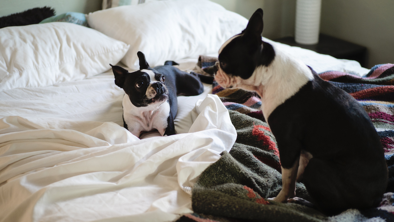 Two boston terrier puppies playing early in the morning