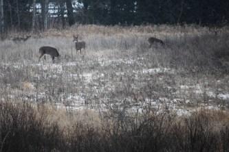 deer visited our field