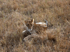 Lion on Masai Mara